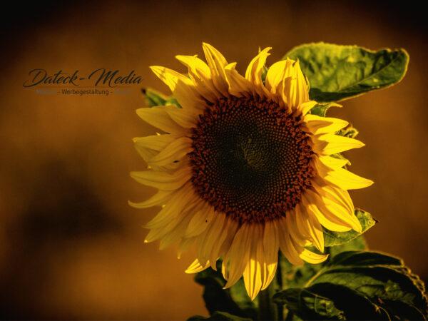 Poster Sonnenblume